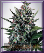 Ministry of Cannabis Auto Silver Bullet Female Marijuana Seeds